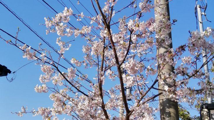 鎌倉散歩 2020年2月24日 桜