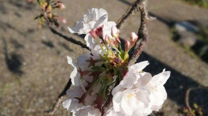 鎌倉散歩 2020年3月24日 桜