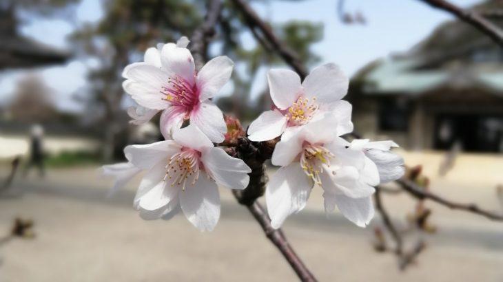鎌倉散歩 2020年3月22日 桜
