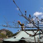 鎌倉散歩 2020年3月12日 桜