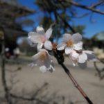 鎌倉散歩 2020年3月20日 桜開花