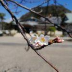 鎌倉散歩 2020年3月18日 桜