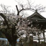 鎌倉散歩 2020年3月27日 桜