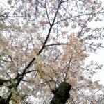鎌倉散歩 鎌倉まつり中止 桜満開 2020年4月1日