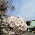 鎌倉散歩 桜満開 わかめ 2020年4月3日
